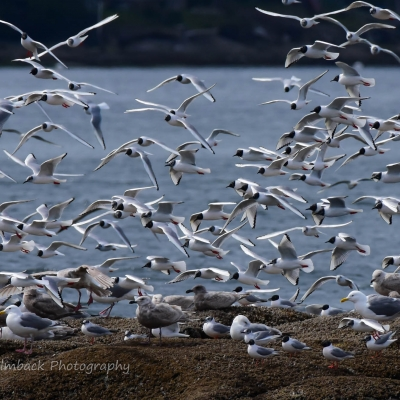 Migratory Sea Birds near Seattle with San Juan Safaris