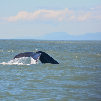 A humpback whale takes a deep dive near East Point