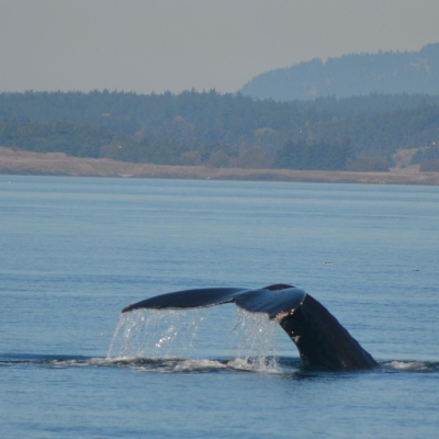 A humpback whale takes a deep dive into the Salish Sea