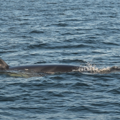 Minke whale surfacing