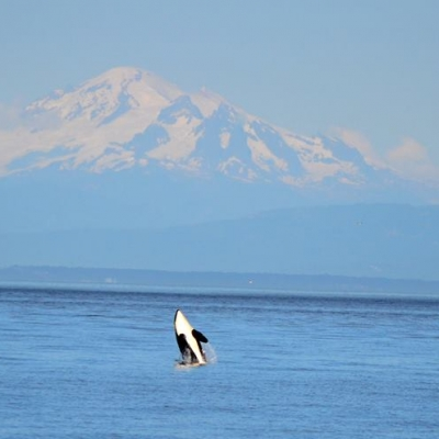 Mt. Baker with breaching orca whale