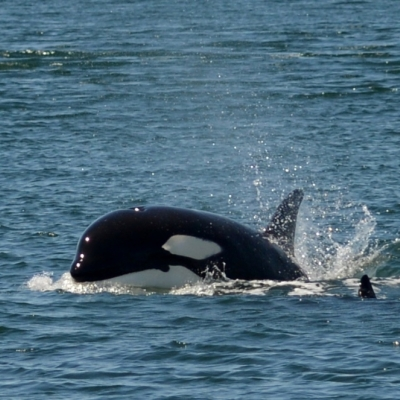 A transient killer whale calf porpoising through the water.