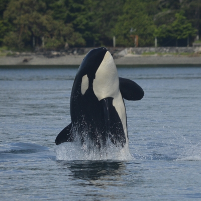 Breaching Transient Orca