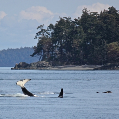 A transient killer whale plays and splashes in the water