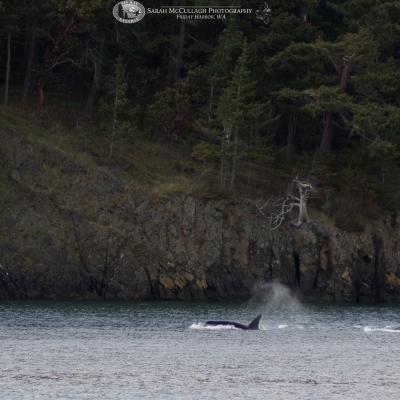 Transient killer whales near Turn Island