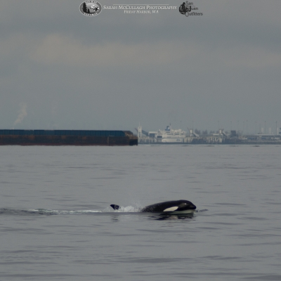 Transient killer whale in the Strait Georgia