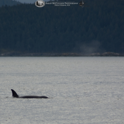 Female Transient Killer Whale at the Surface