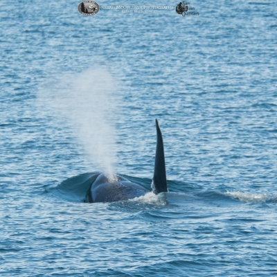 Bigg's killer whale surfacing