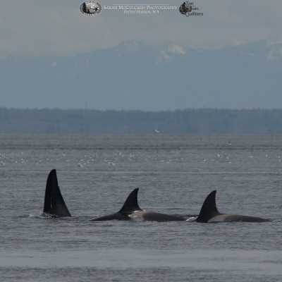 Transient Killer Whales in the Strait of Georgia