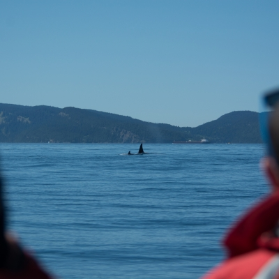 Watching killer whales