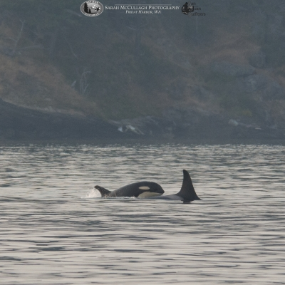 Killer Whales north of Friday Harbor, San Juan Island