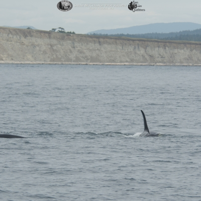 Foraging Southern Resident killer whales