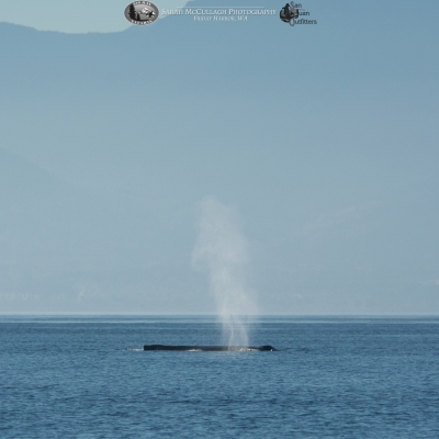 Humpback whale surfacing in front of the Olympic Peninsula