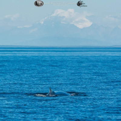 Humpback whale and Mt. Baker
