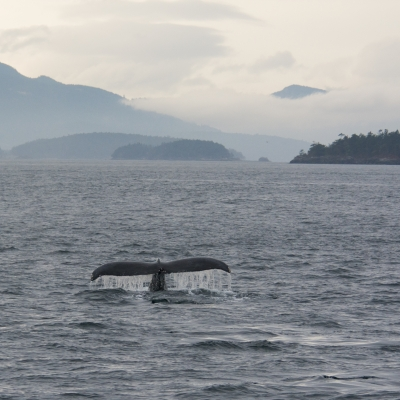 Humpback whale in the San Juan Islands