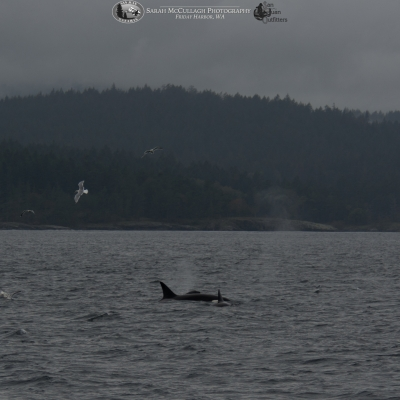 Orcas foraging