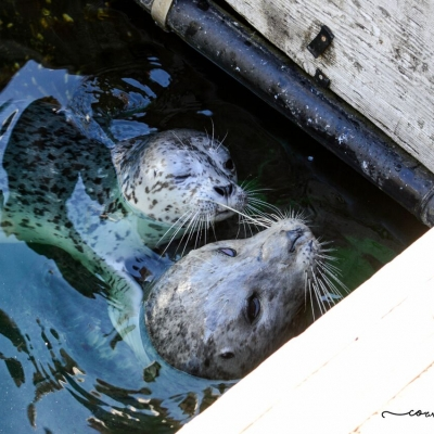 Harbor Seal Popeye and Pup