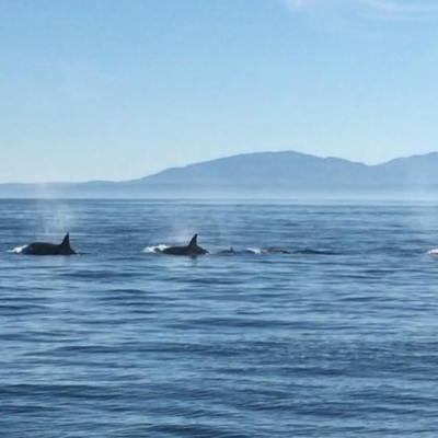 California Transient Killer Whales in the Salish Sea