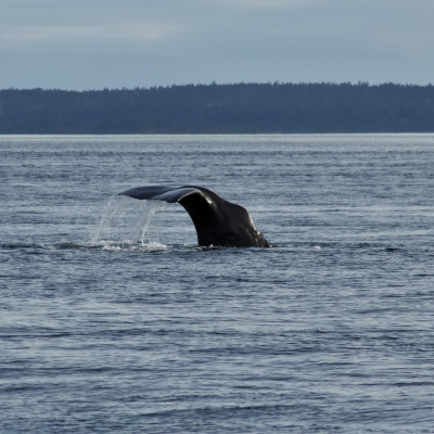 Sperm Whale in Boundary Pass
