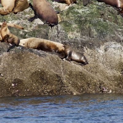 Steller Sea Lion Pups