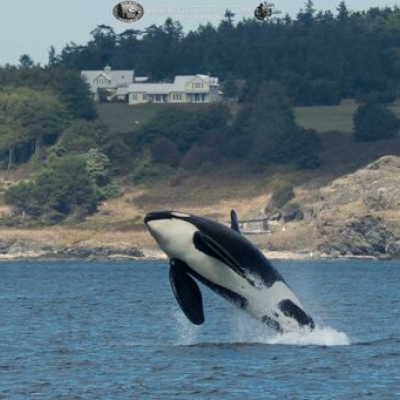 Transient Orca Breach