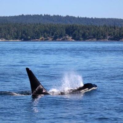 Southern Resident Killer Whales in Haro Strait