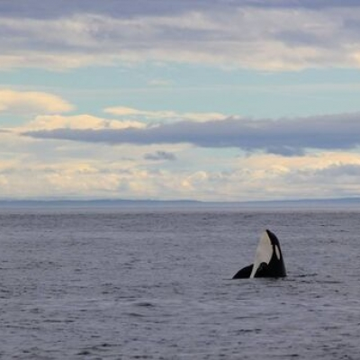 Bigg's Killer Whale in the Salish Sea