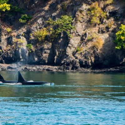 Bigg's Killer Whales in the Saanich Inlet
