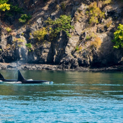 Bigg's Killer Whales in Friday Harbor