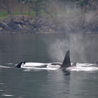 Bigg's Killer Whales Traveling with calf