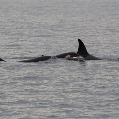 Bigg's Killer Whales in San Juan Channel