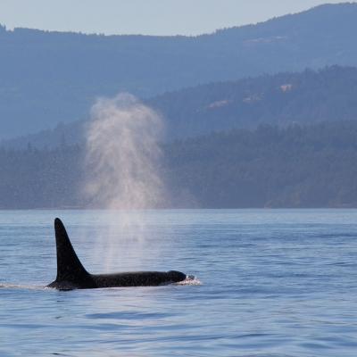 Male killer whale surfacing in the Salish Sea