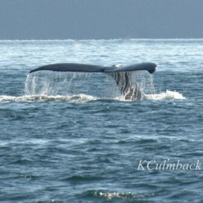 Humpback Whale in Spieden Channel