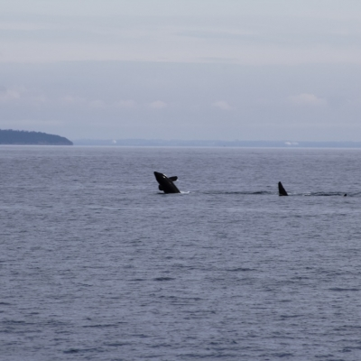 young Bigg's Orca breaches