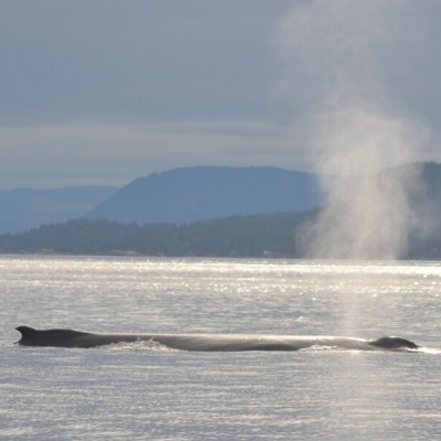 A humpback whale surfaces in the Salish Sea