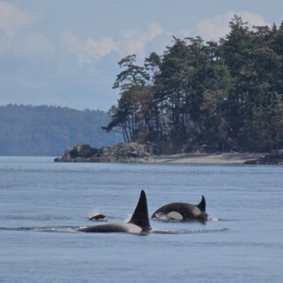 Two Bigg's Killer Whale Families