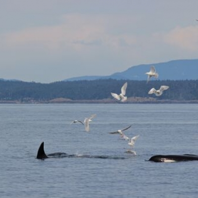 Bigg's Killer Whales Feed Near Patos