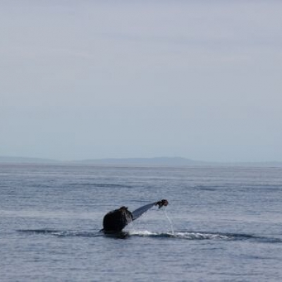 Humpback Whale in Rosario