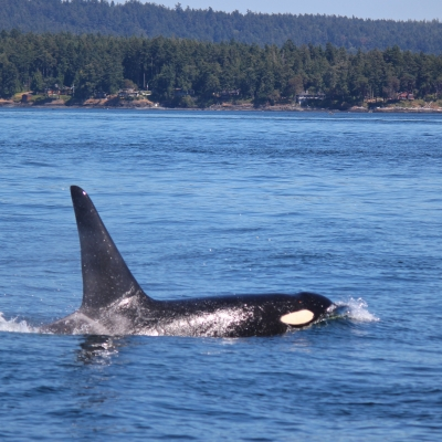Bigg's Killer Whale with Harbor Seals