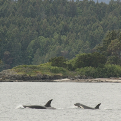 Two Bigg's Killer Whales in the Salish Sea