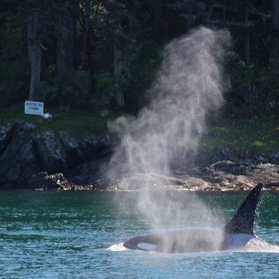 Bigg's Killer Whales in the Strait of Juan de Fuca