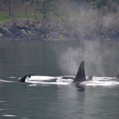 Bigg's Killer Whales in Boundary Pass