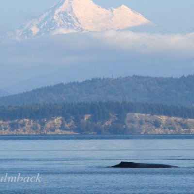 Humpback Whales near Mount Baker