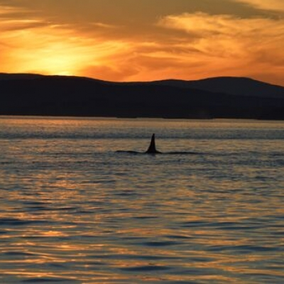 Bigg's Killer Whales on Sunset Tour