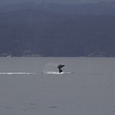 Bigg's male orca tail slapping