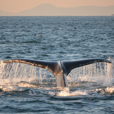 Humpback Whale in the Strait of Georgia