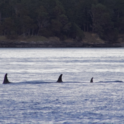 Southern Resident Orcas of J pod