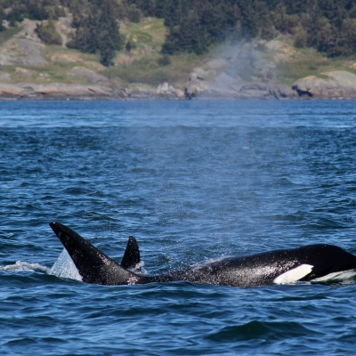 Killer Whales Surround San Juan Island!