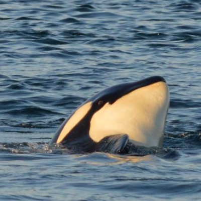 Transient Orcas at Sunset