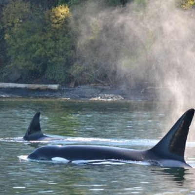 Bigg's Killer Whales near Friday Harbor